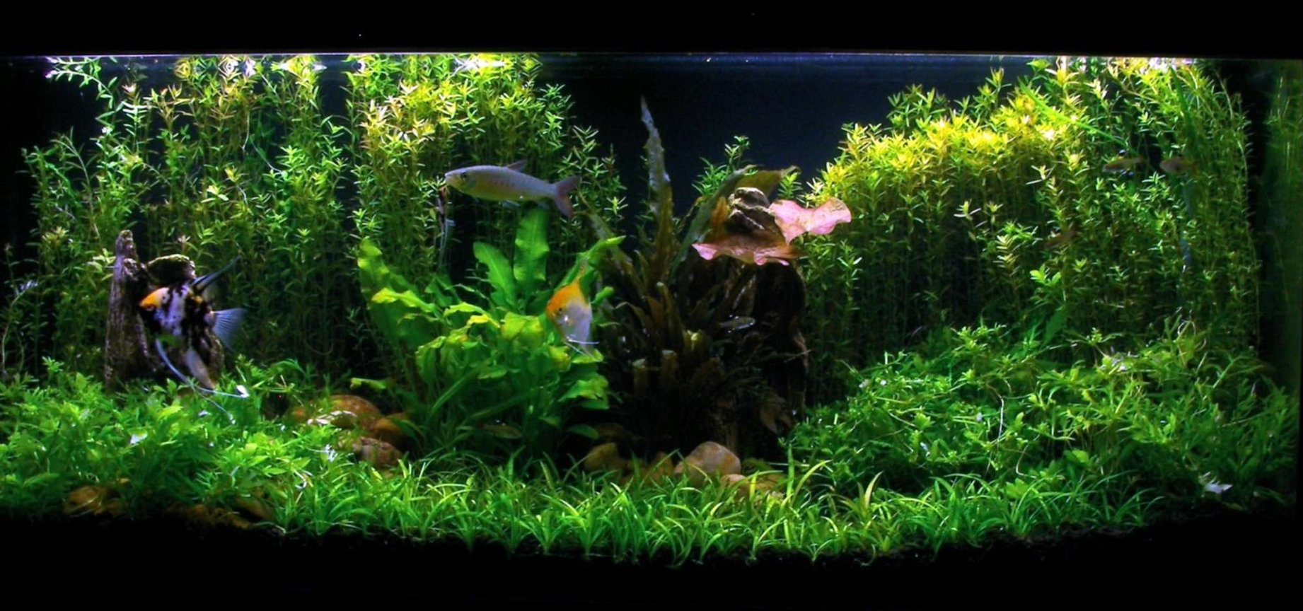 55 gallons planted tank (mostly live plants and fish) - My 55g Fish Tank