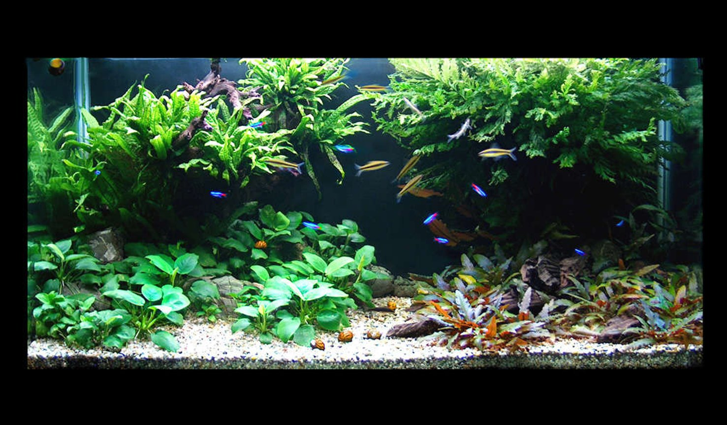 60 gallons planted tank (mostly live plants and fish) - front view
