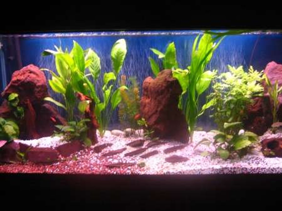 90 gallons planted tank (mostly live plants and fish) - Red Texas Rock Anubias, Wisteria, Bamboo, Hornwort and swords 3 Bala sharks, 7 Cherry Barbs, Clown Pleco, Khuli Loach