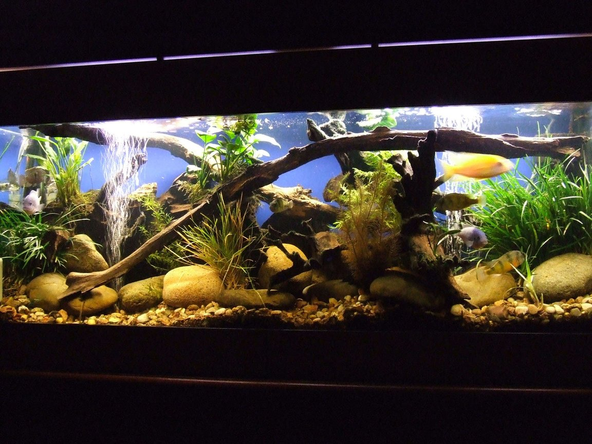 55 gallons planted tank (mostly live plants and fish) - My 4ft. Cichlid Tank - Dragon Blood Peackcocks,Cobalt Blue, Electric Yellows, Crimson Tides, Bristlenose, Blue Acara - Various Anubias and Dwarf Anubias, Foxtail and Grass plants, etc