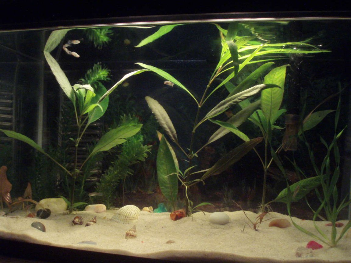 10 gallons planted tank (mostly live plants and fish) - Mi pescera de diez galones con plantas acuáticas.
