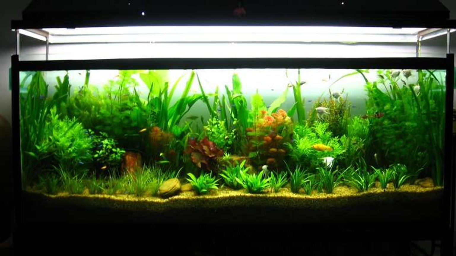 90 gallons planted tank (mostly live plants and fish) - My Planted Beauty........