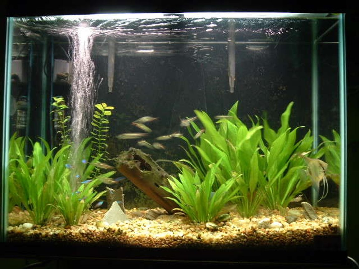 Photo 2 My 37 Gal Planted Amazon Swords Natural