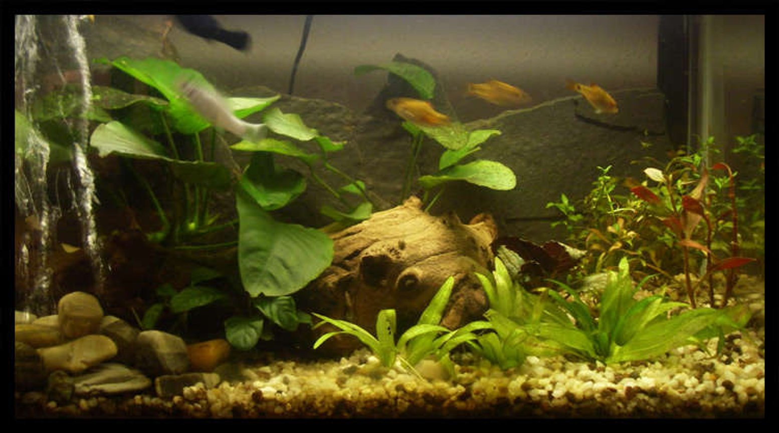 10 gallons planted tank (mostly live plants and fish) - 10 gallon planted with anubias and ludwiga no filtration