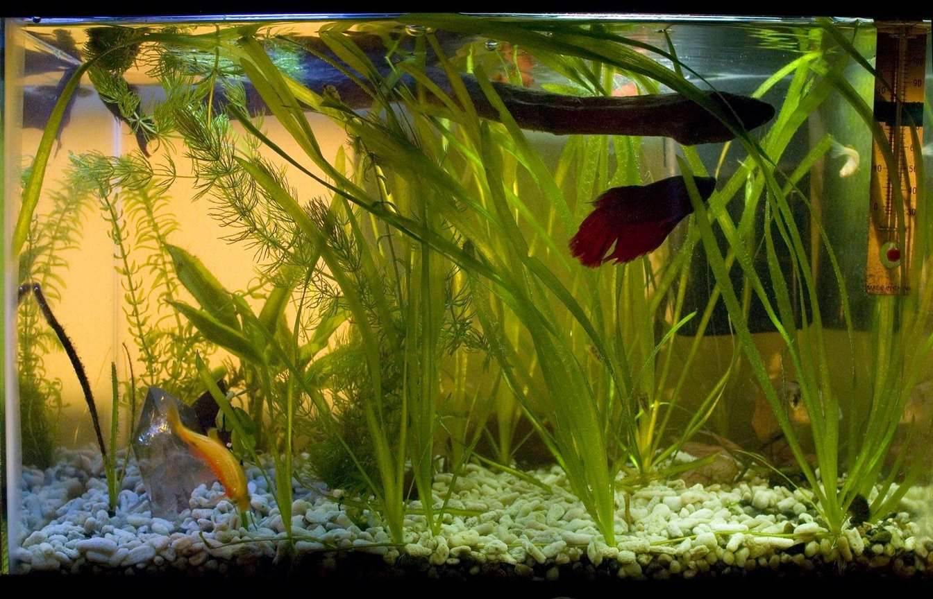 29 gallons planted tank (mostly live plants and fish) - My 4.5 gallon community tank. It started as a rescue tank for these guys when the larger tank evolved into a cichlid tank. Now it's a permanent fixture in the living room.