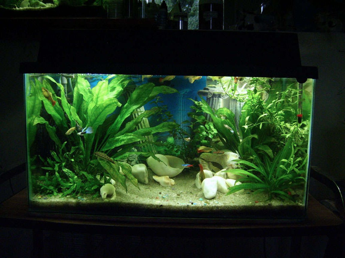 30 gallons planted tank (mostly live plants and fish) - Welcome to Guppyville. 20 Gallon planted. 10 Female & 8 Male varied Guppies 2 Female & 1 Male Platy 4 Neon & 2 Glowlight Tetras 1 pair of Bristlenose Plecos 1 CAE