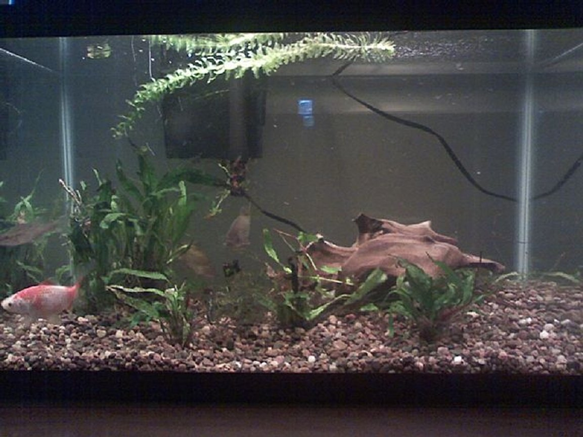 55 gallons planted tank (mostly live plants and fish) - 10 gallon fish tank. Since the winter is coming I am keeping some fish that I took out of the pond in the backyard. We bought them as feeders but instead of feeding them to another fish we put them in the pond. 4 out of 2 dozen survived