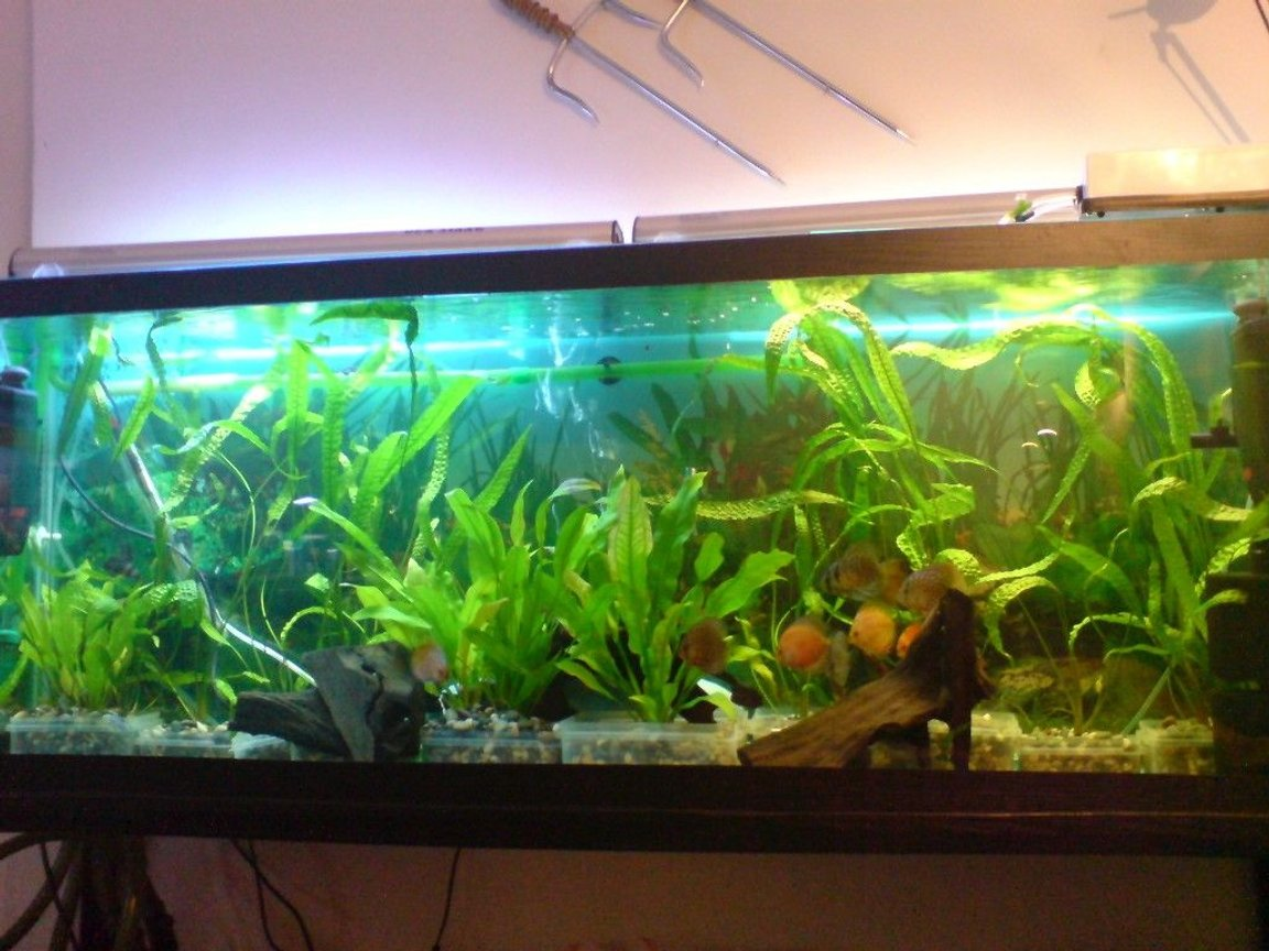 100 gallons planted tank (mostly live plants and fish) - discus tank