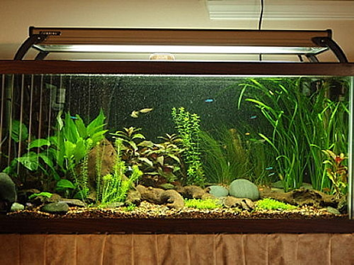 planted tank (mostly live plants and fish) - 30 gallon High-Tech planted