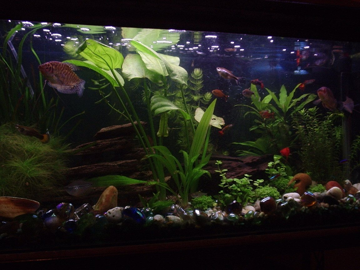 20 gallons planted tank (mostly live plants and fish) - My planted tank