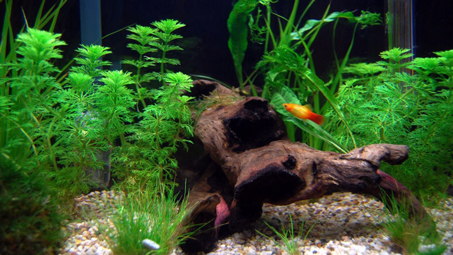 planted tank (mostly live plants and fish) - 65 litre tank, mainly platies