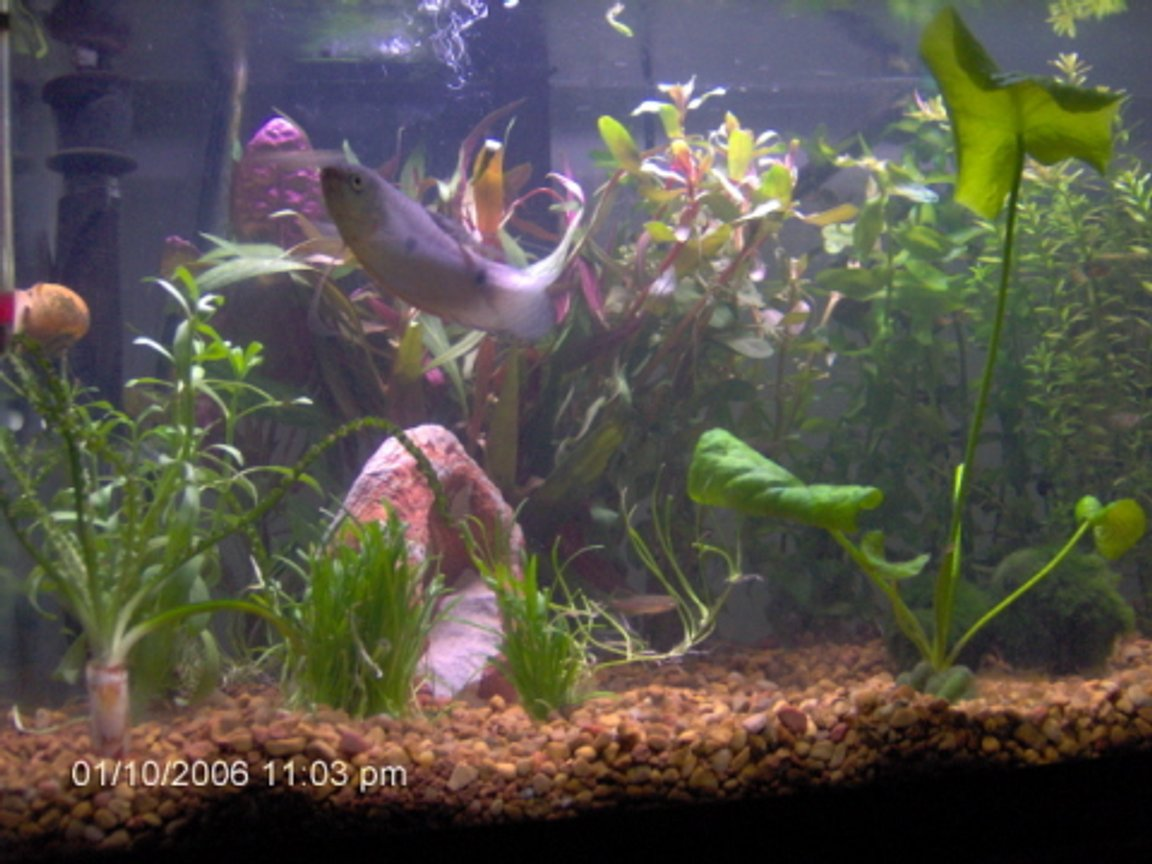 10 gallons planted tank (mostly live plants and fish) - Fish: 2 blue gouramis, 1 opaline gourami, 4 Tiger Danios, 1 snail. Plants: Moneywort, Banana Plant, Rotala Indica, Moss Balls/Marimo Balls/Tribbles (Cladophora aegagropila), Telanthera Rosefolia (Alternanthera reineckii), Crinum Calimistratum (very rare), Ammannia Senegalensis, micro sword, and two thers that I can't remember.