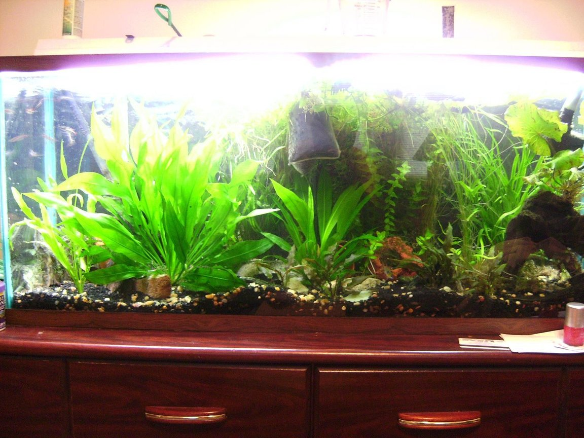 "55 gallons planted tank (mostly live plants and fish) - My tank from 4 feet away. Sorry about my bad camera and photography skills :) On the left hand side of the tank is an amazon sword that has grown to be about 14"" tall Comments welcome!"