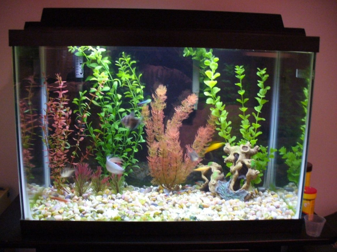 20 gallons planted tank (mostly live plants and fish) - This is a more recent shot of my 20 gal, i just re-dit the decor and what not after taking some suggestions from people. It still has : 1 Paradise Fish, 3 Black skirt Tetras, 1 Swordtail, 1 Raphael Catfish, 5 Neon Tetras (other 5 died), 1 Sunburst Glofish (other 3 died), and 1 Cherry Barb (other one died),