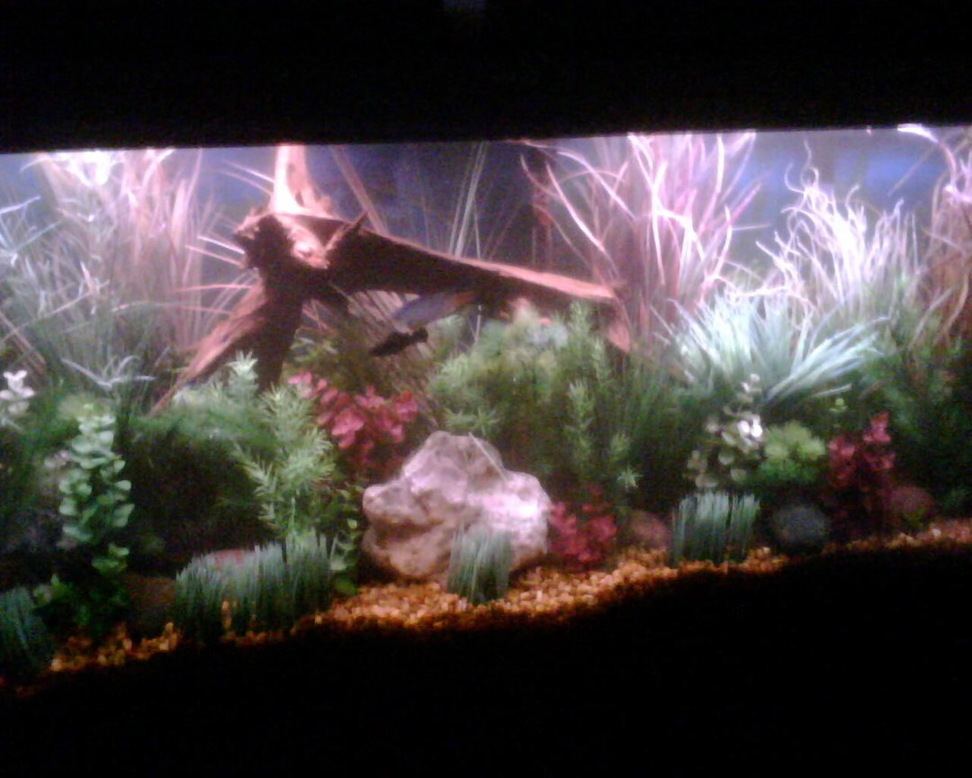55 gallons planted tank (mostly live plants and fish) - 55 Gal. Fake Plants with a few real Wisteria.
