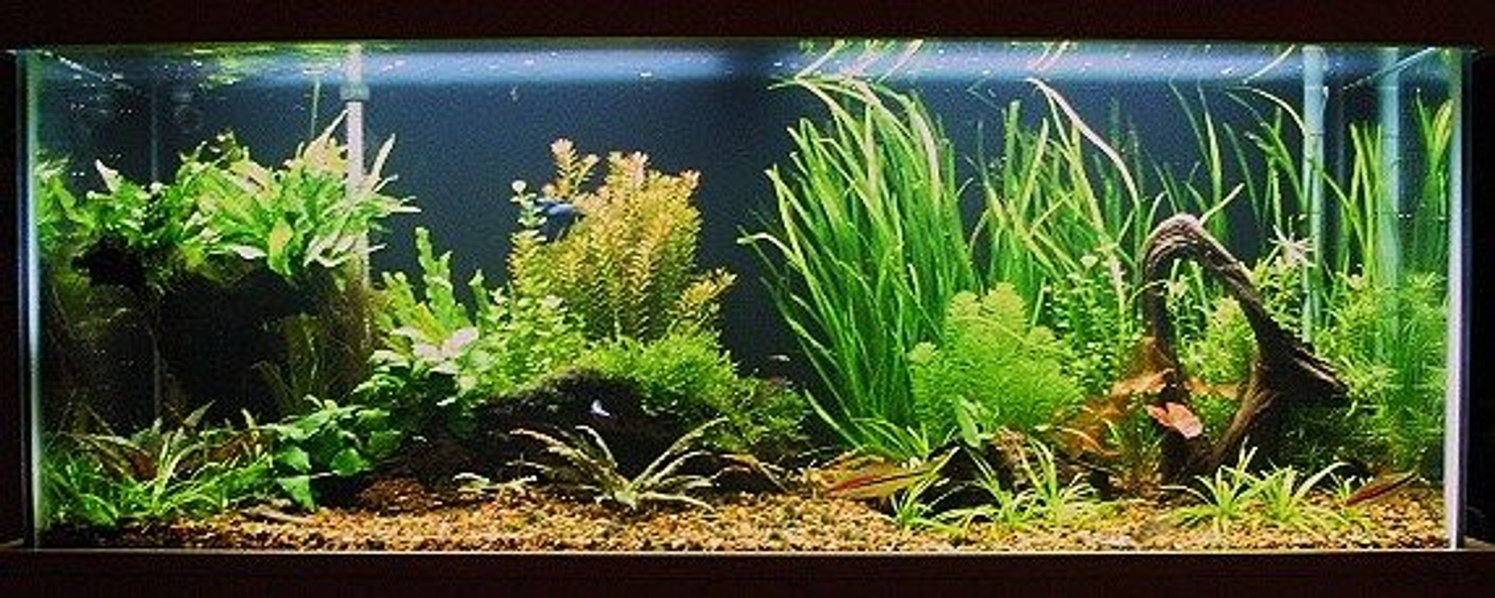 75 gallons planted tank (mostly live plants and fish) - Sharpened the detail on it and made it bigger. Original shows full tank although its dark on here. 75g low tech No cO2 just lights, filter, and heater!!