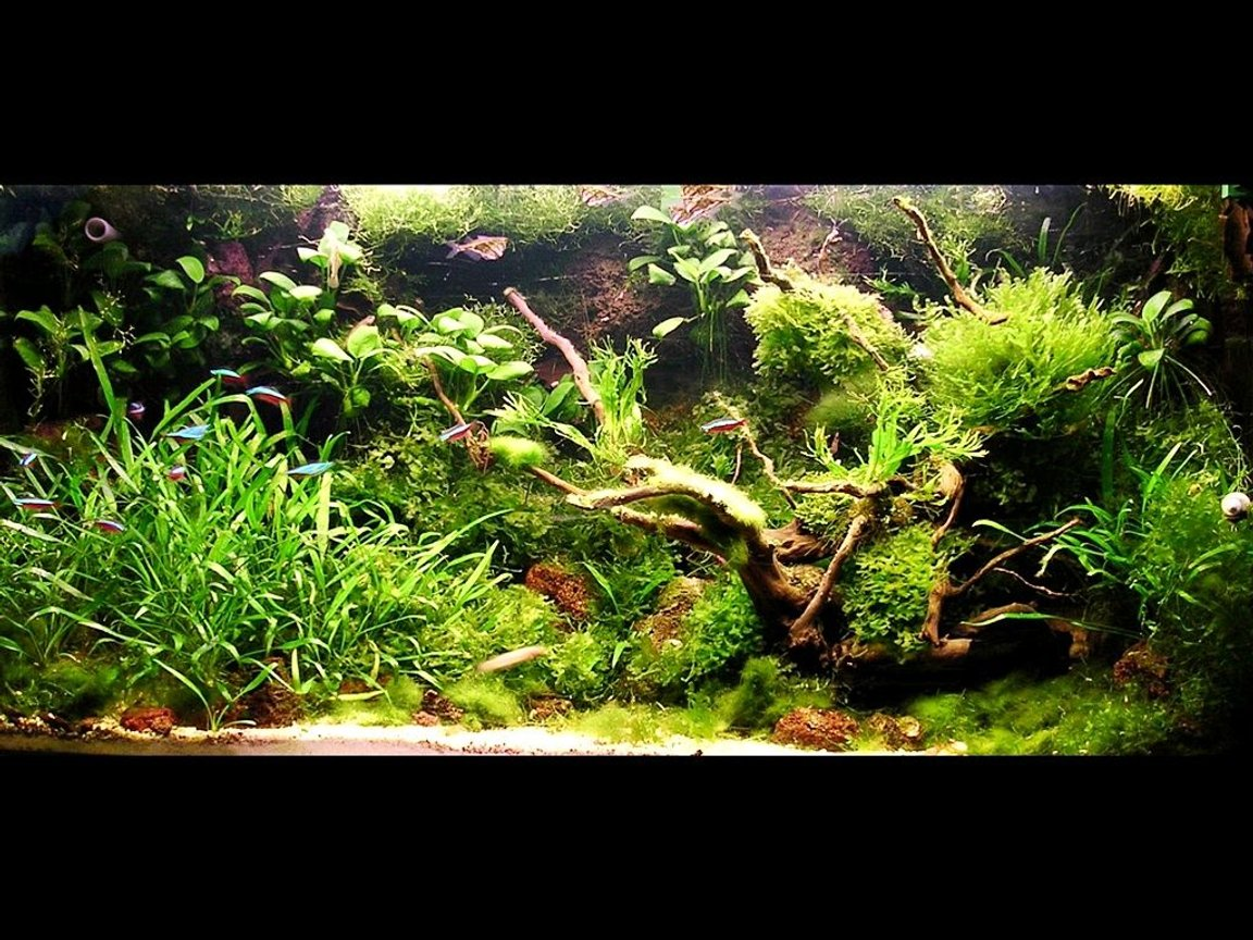80 gallons planted tank (mostly live plants and fish) - my living background