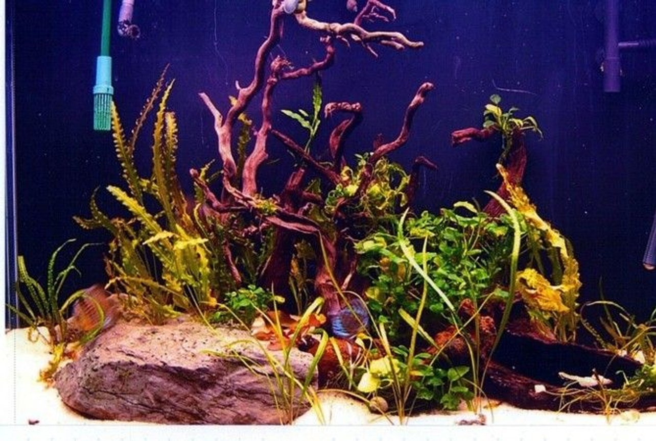 90 gallons planted tank (mostly live plants and fish) - 90 gal 'Amazon' tank with 14 turquoise discus, 10 dwarf corys, 8 dwarf cichlids and a flash pleco; also Amano shrimp, snails and dwarf crayfish