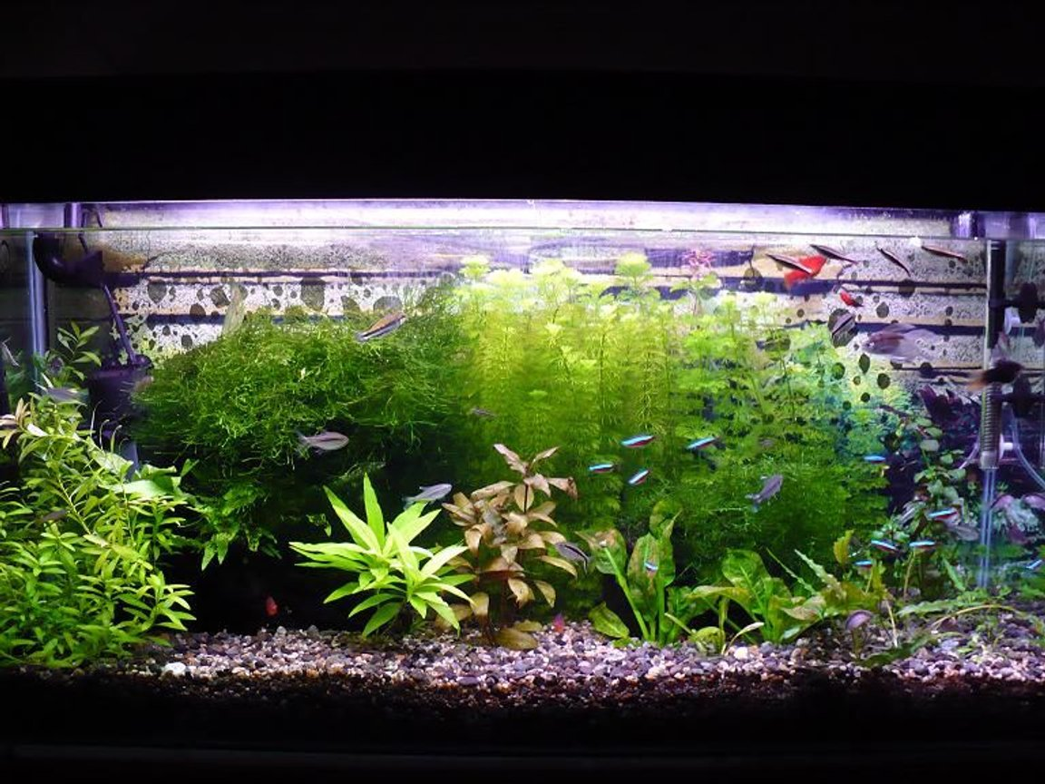46 gallons planted tank (mostly live plants and fish) - My fish Tank