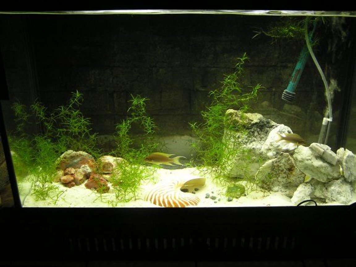 60 gallons planted tank (mostly live plants and fish) - Breeding pair birchardis in a 30 planted