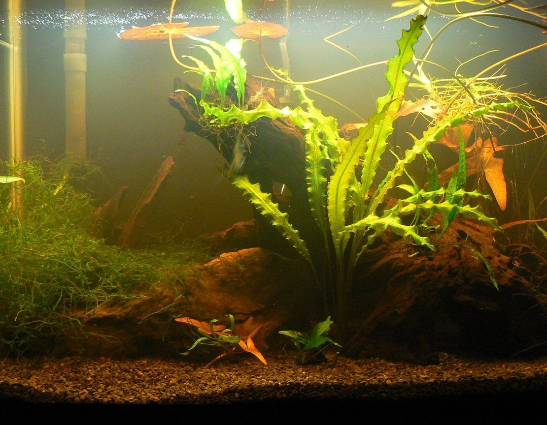 10 gallons planted tank (mostly live plants and fish) - 10 gallon planted shrimp habitat. There are many of each: tiger shrimp, cherry shrimp, ghost shrimp, and bumblebee shrimp. Plants include red tiger lilies, java moss, snow fern, ruffled eponegteon, and more.