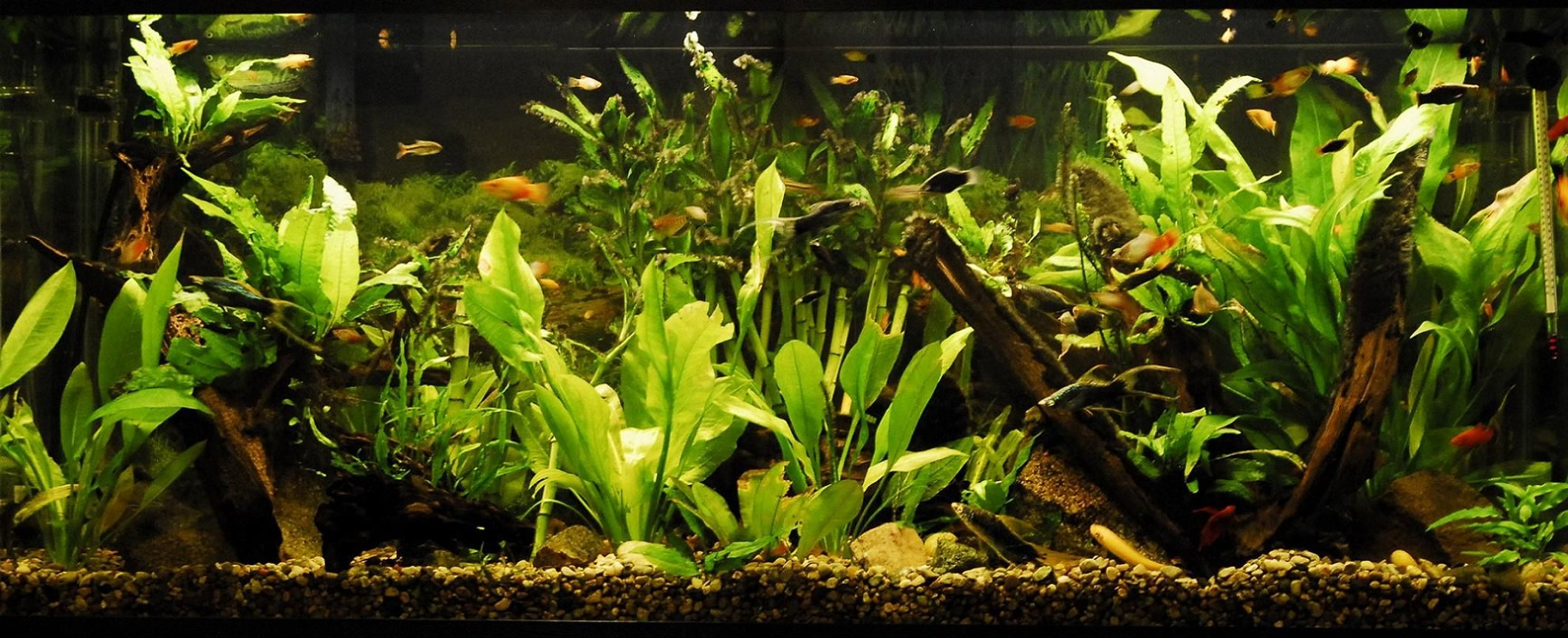 55 gallons planted tank (mostly live plants and fish) - 55 Gallon Community Planted Tank, Malaysian Driftwood, CO2, Angelfish, Neon Tetra, Sword tails, Platties, Mollies, Gouramis, Many Plants. LifeGlo2 6700K 40W. Millennium 3000 Filter. Taken 1/3/2009