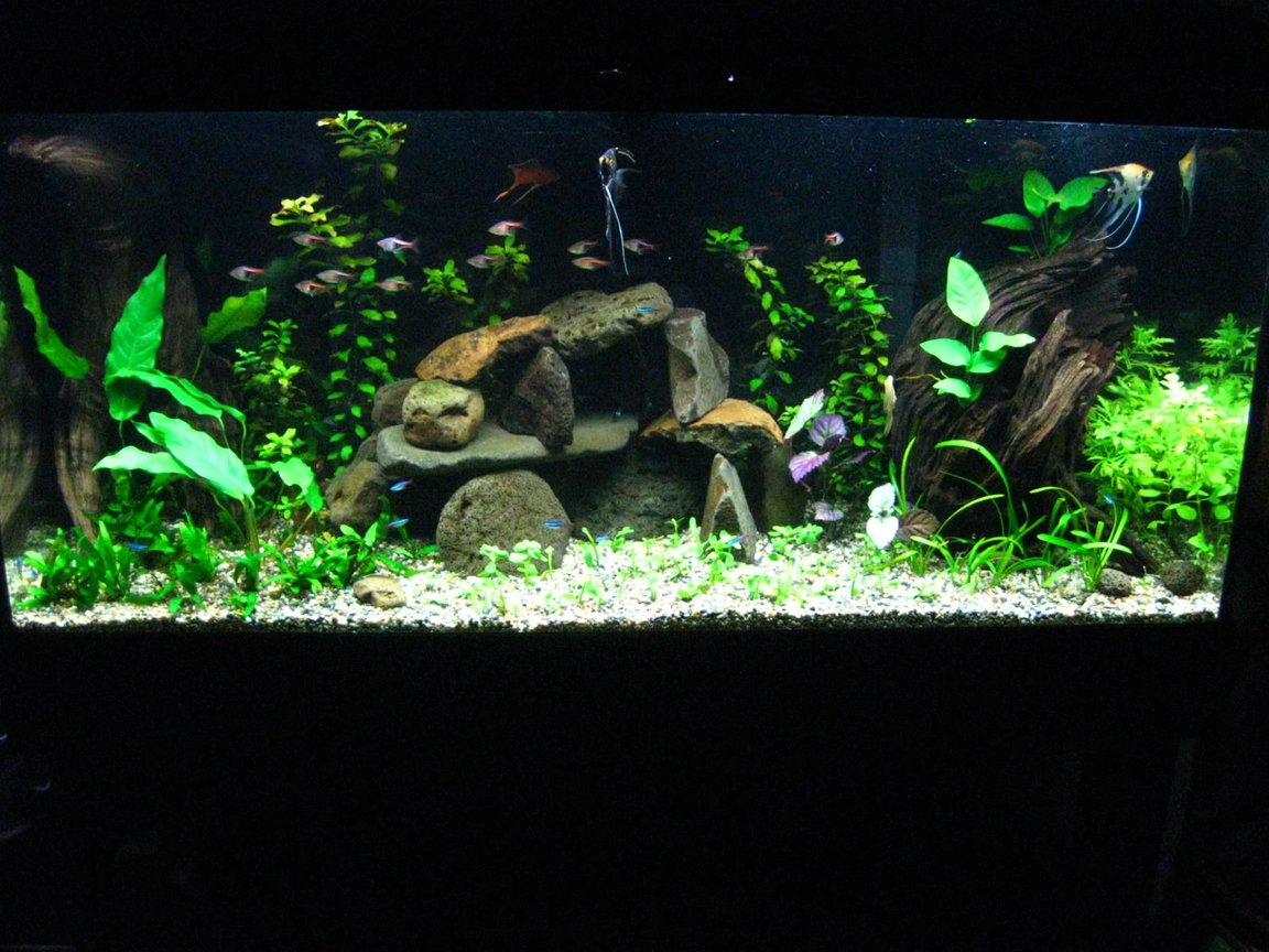 55 gallons planted tank (mostly live plants and fish) - This is a 55 gal tank. uses malaysian driftwood,volcanic rocks and real low light plants. Gravel on top of substrate,no co2,1.45 w/gal. 2/8/06 updated with a little better picture. added more plants like the pearlgrass in the foreground not sure how they will grow,may need more light intensity ,will see.. I try my best to keep the scale of the tank wide and open,also accordingly I select fish of somewhat smaller size to populate it. I get tempted to replace the rock set up with a wooden branch and moss attached to it. Thxs for watching.