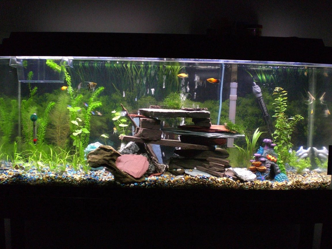 55 gallons planted tank (mostly live plants and fish) - 55 gallon tank Cheers, Thanks for looking. Im new to aquascaping. I bought the 200L 55gallon. I have been buying plants and fish occasionally during the last 5 weeks while the tank was cycling, I bought the setup on craigs list for $90 after wanting to have a talk for a long time. In my tank I have alot of fish. I just added my last fish, 6 assorted gold koi angelfish(just got them), 5 neon tetra (i know they may be eaten), 4 platy, 1 baby platy(good for a new tank), 2 small bala shark (get big), 1 herlaquin raspora, But i still want a ground crew. Like cherry or abino shrimp. Low light, 48inch 40watt daylight GE bulb. 12hr/day. Hang on back filter 60. Bubble stone. Heater set 77-79F. pH 7 Medium hardness. slight low nitrates, 0 nitrites, 0 ammonia. Setup going well so far, no major problems. High ammonia in begining. Plants. Well java moss, small water sprite, Pennywort, Brazilian (Hydrocotyle Leucocephala), Spiralis (Cryptocoryne spiralis), Myrio, Red (Myriophyllum heterophyllum), Subulata, Dwarf (Sagittaria subulata), Anacharis (Egeria najas). They are all growing slowly, im gonna buy more java moss tomorrow, i like it. All the plants have had some leaf loss and browning and some melting (i juess) I do water changes 20% exery wednesday. I put in 1/2 dose flora pride by tetra with water changes. I think this helps. There is some algea starting to form slowly on plastic decorations, the bala seem to like this alot, What advice can you give me, I want to add the dept of field, do you like the cave, the bubbles roll out the front of cave and most out the back. I also have 10 moonlight leds that I leave on 24/7. Im a male nurse and Air Force veteran F-16 crew chief. Thanks for the GI bill. I hope the pics please you. any comments are apprecieted. Keep them positive.