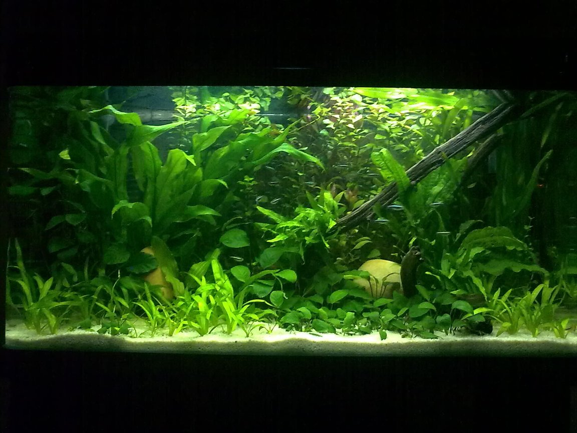 55 gallons planted tank (mostly live plants and fish) - My Dwarf Chichlids small Heaven
