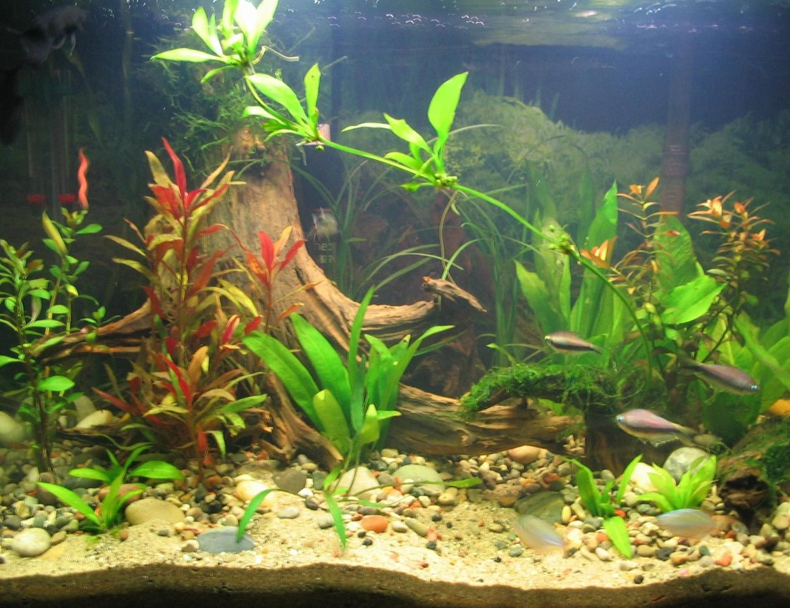 20 gallons planted tank (mostly live plants and fish) - updated 20 gallon new fish, some new wood and loads of new offsets from my amazon sword