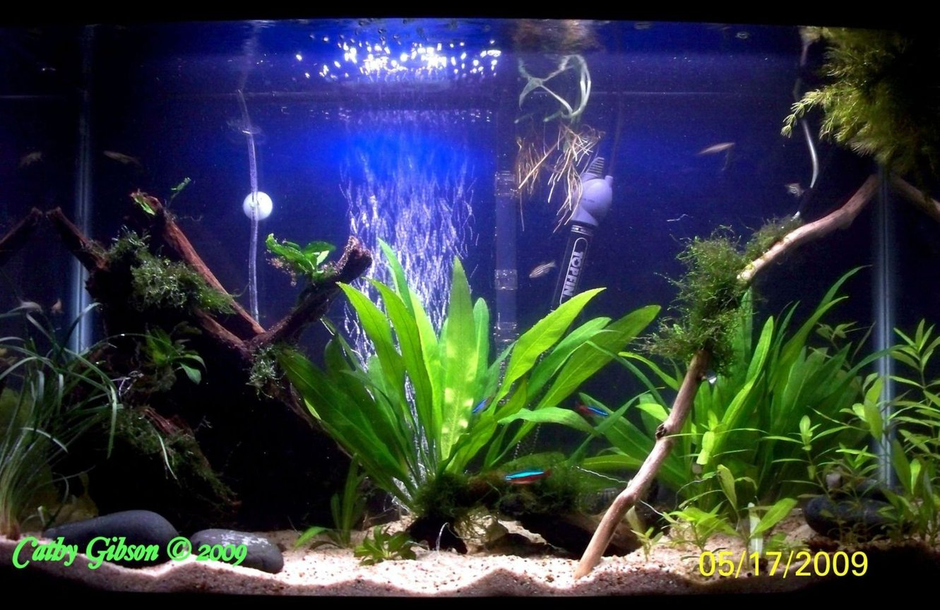 55 gallons planted tank (mostly live plants and fish) - Final set-up of my 30 gallon Planted Community tank. Tank gets co2 and liquid fertilizer, no special substrate, just play sand and no special lighting. The main fish are my paired Bolivian Rams. Tank has 2 pieces of driftwood, a large piece and a small piece of Mopani wood. There are small river rocks for the Rams to spawn on and all plants are real. Tied to the big driftwood is Java ferns, Java Moss and Christmas Moss. Floating in the top corner is a clump of Hornwort which my Gourami and Dwarf Frogs like to hang out in. I have a Philodendron house vine rooting in the tank next to the filter output. You can see the roots coming down into the tank; it is even growing leaves inside the water now. It has taken me 2 years of fussing and tweaking to get this tank the way I have always wanted. All natural, nothing fake in it.