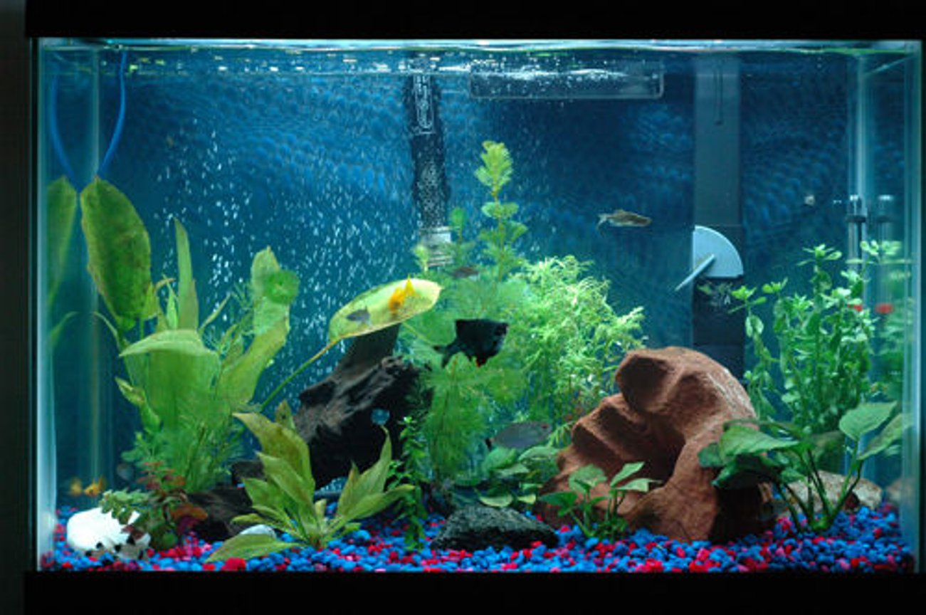 20 gallons planted tank (mostly live plants and fish) - 7 month old 20g as of 7/3/09. Feedback is appreciated. Dwarf Gourami, Zebra Danios, Cherry Barbs, Green Barbs, Gold Mollies, Panda Catfish, Red eye Tetras, and Siamese algae eaters.
