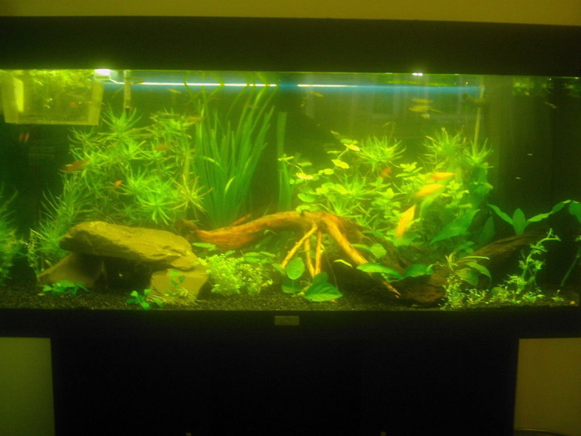 40 gallons planted tank (mostly live plants and fish) - My Juwel Rio 180 planted tank.