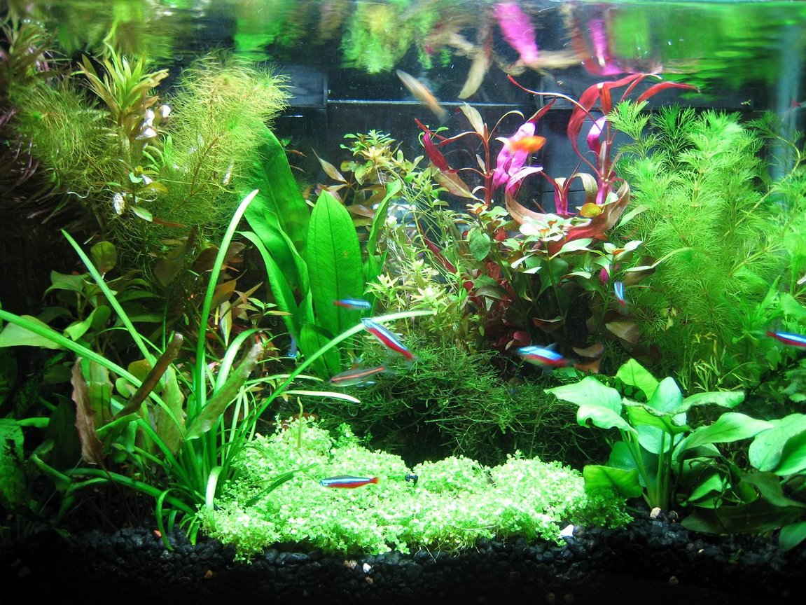 10 gallons planted tank (mostly live plants and fish) - My tank