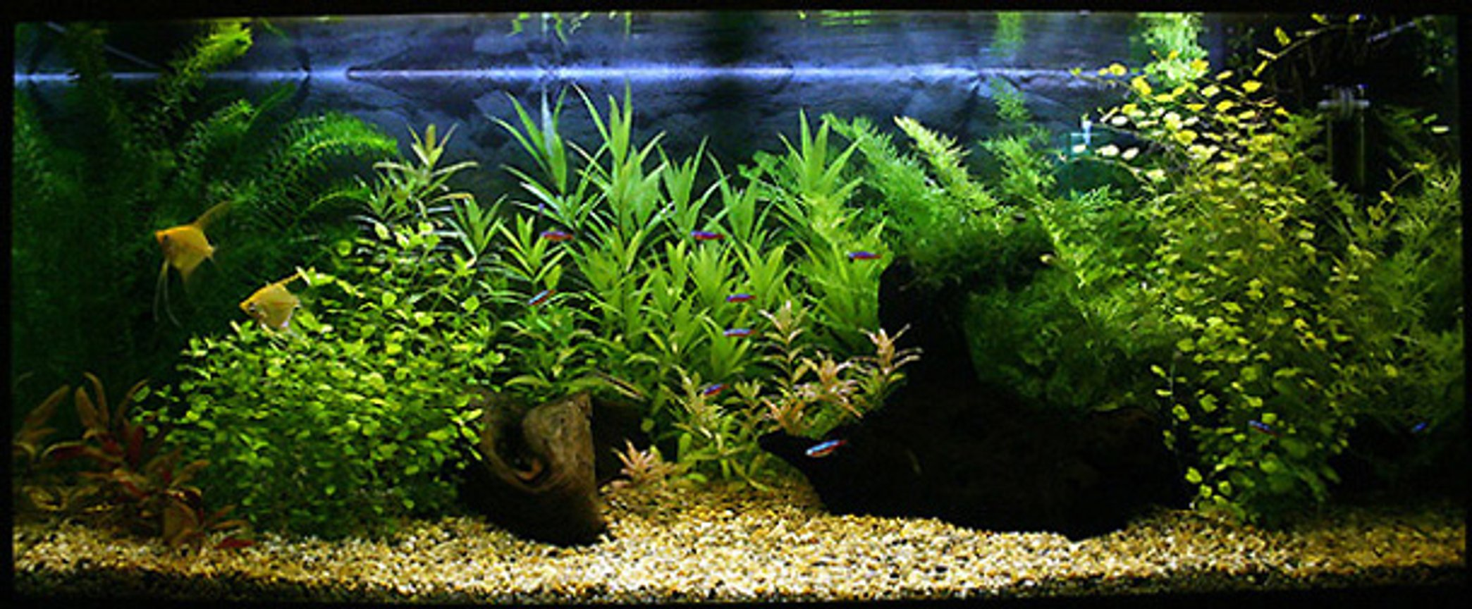48 gallons planted tank (mostly live plants and fish) - This 180 liter aquarium is set-up 3rd of February 2006.