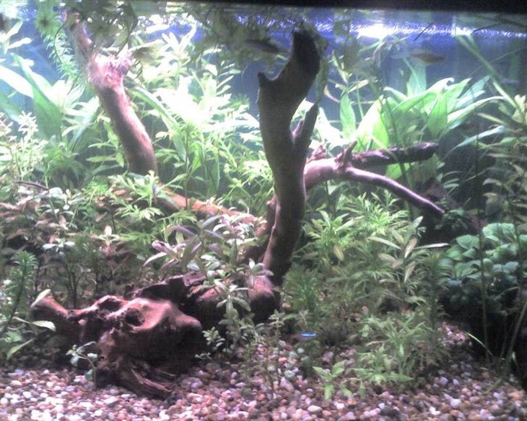 66 gallons planted tank (mostly live plants and fish) - FISH:Assorted catfish, Tiger Barbs, Platys, Neons PLANTS:Assorted Hygrophila (Polysperma, Difformis, Rosanervig), Valisneria spiralis, assorted Java Fern, assorted Anubias, Ludwigia, Anacharis, Lace Fern, Watersprite, Bacopa Caroliniana & Monnieri.