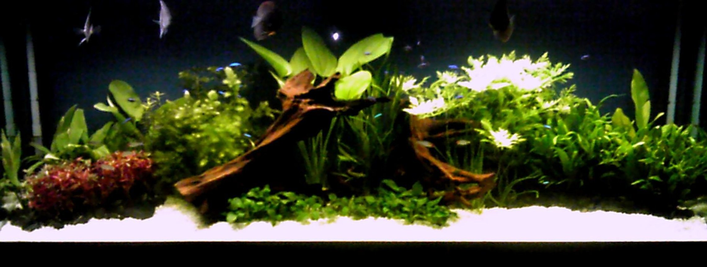 125 gallons planted tank (mostly live plants and fish) - planted discus tank