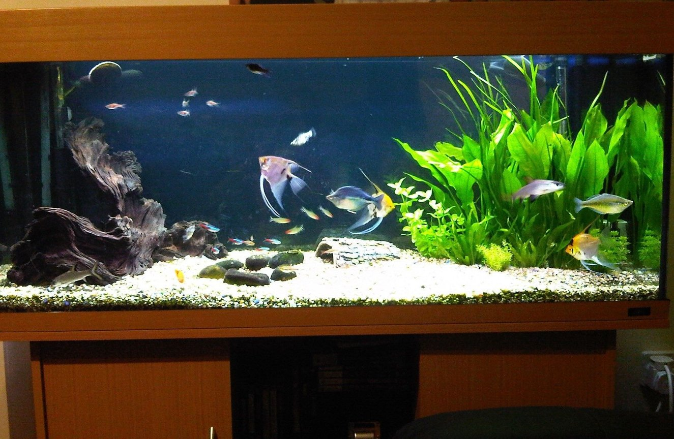 55 gallons planted tank (mostly live plants and fish) - My Tank from the front