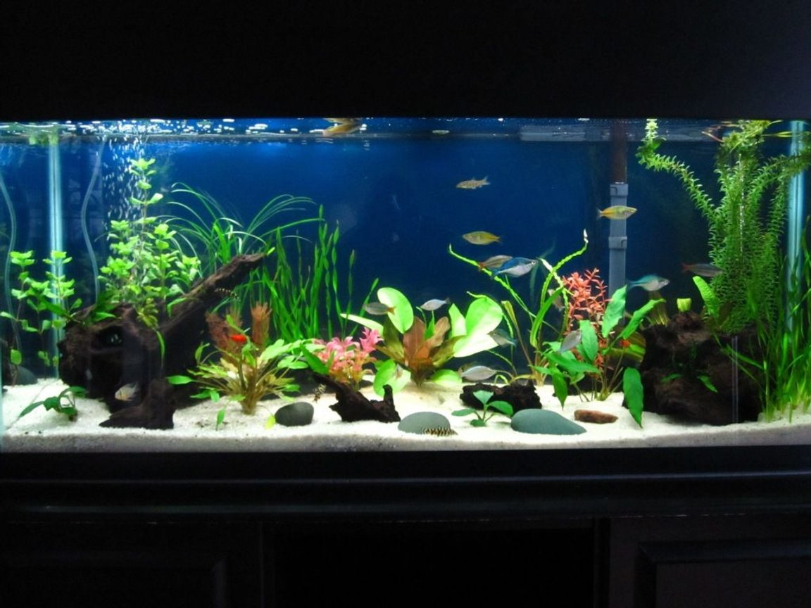 55 gallons planted tank (mostly live plants and fish) - 55 gallon with lots of fish, live plants, and some fake ones to give it some color and provide better hiding places for the gouramis.