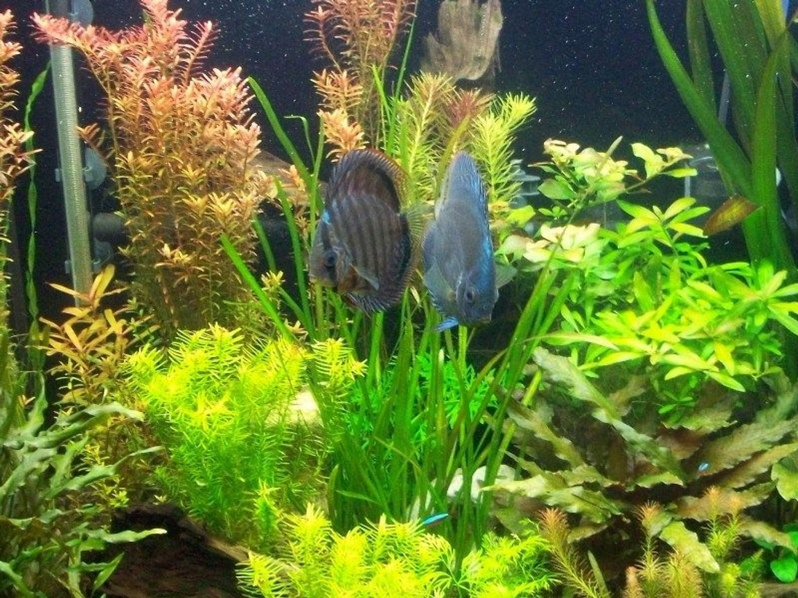 65 gallons planted tank (mostly live plants and fish) - Pearling plants