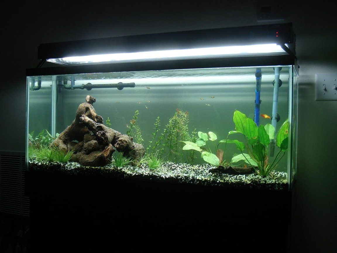 55 gallons planted tank (mostly live plants and fish) - Our first attempt at a freshwater planted tank, two months in.