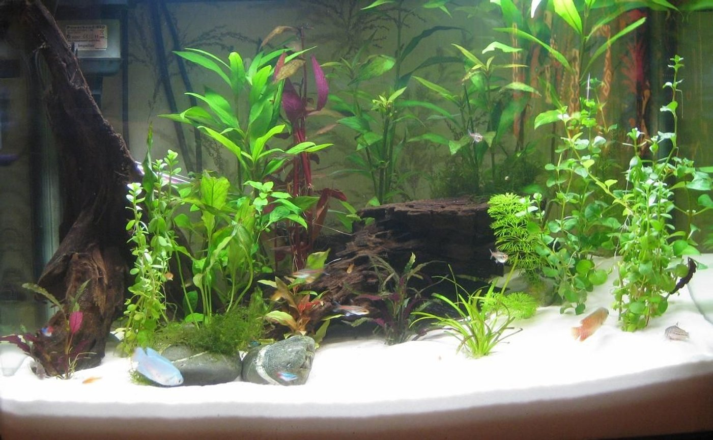 planted tank (mostly live plants and fish) - 90 litre planted tank 7 Ember tetras 5 Glowlight tetras 4 Neon tetras 2 Dwarf gouramis 3 Julii catfish 1 Upside-don catfish Ambulia, Borneo sword, Ludwigia, Hygrophilia, Dwarf Sagittarius, Baby's tears, Java Moss, Lysamachia, Alteranthera Rosaefolia Driftwood, white silica, JBL substrate