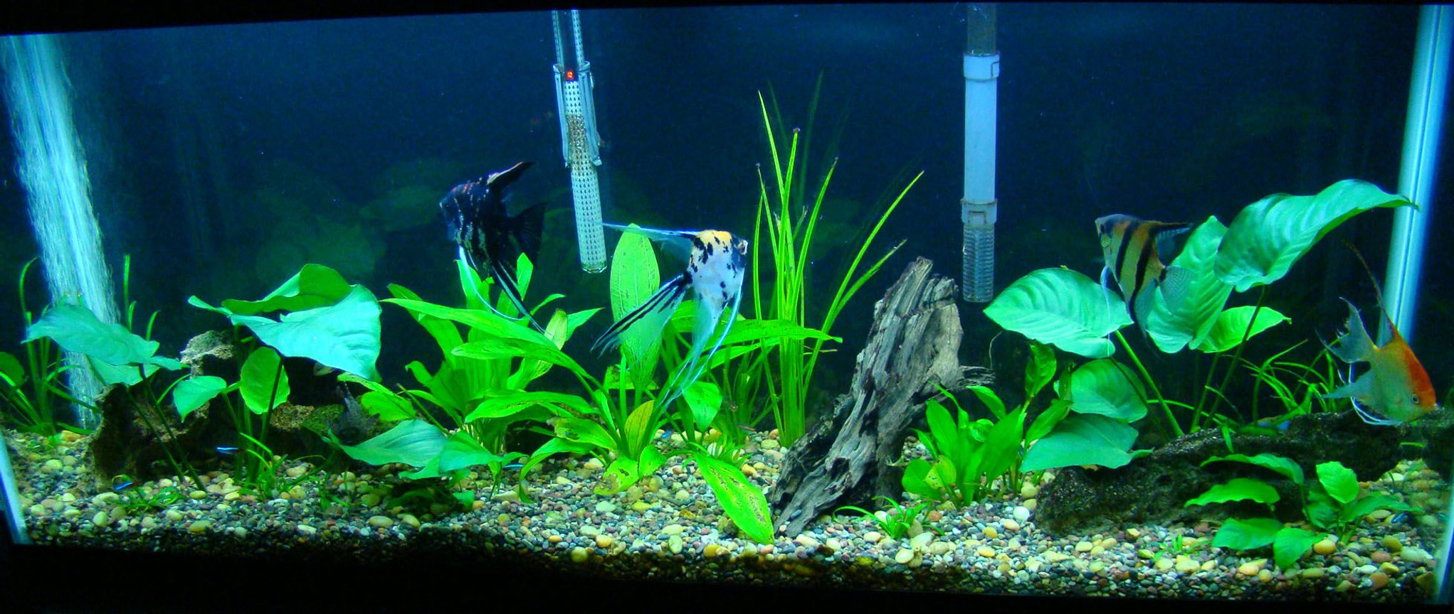 55 gallons planted tank (mostly live plants and fish) - 55 gallon, all live plants. more to come.