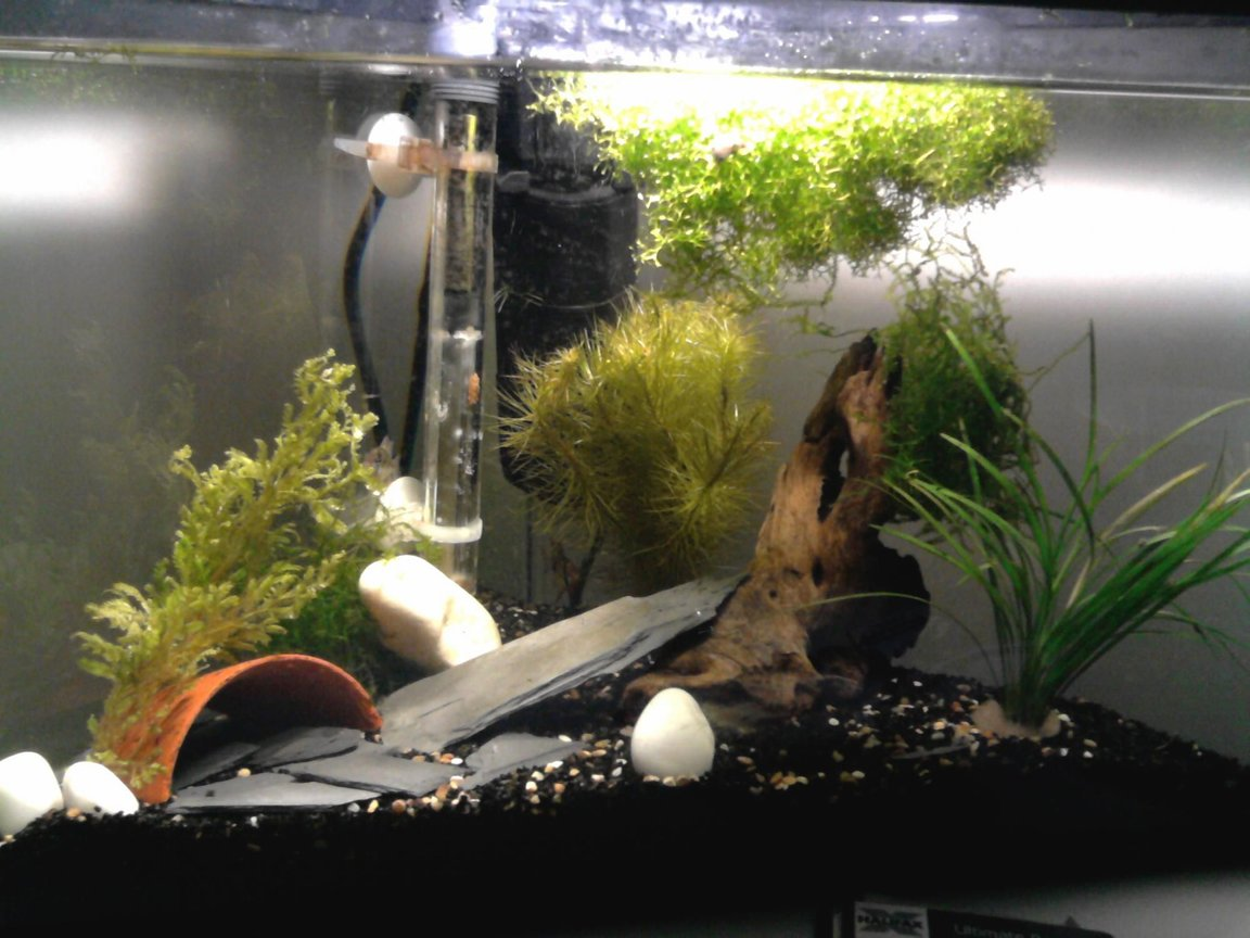 75 gallons planted tank (mostly live plants and fish) - A 20 gallon tank with 2 german rams, female and male, small pleco and shrimp. Live plants, Cabomba, Wisteria, Myrio, sword, java moss and CrystalwortRiccia