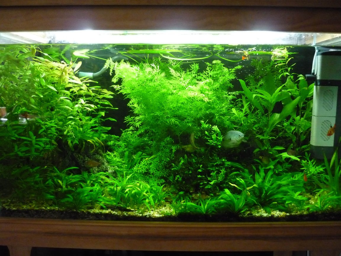 45 gallons planted tank (mostly live plants and fish) - 150L Fresh water planted community