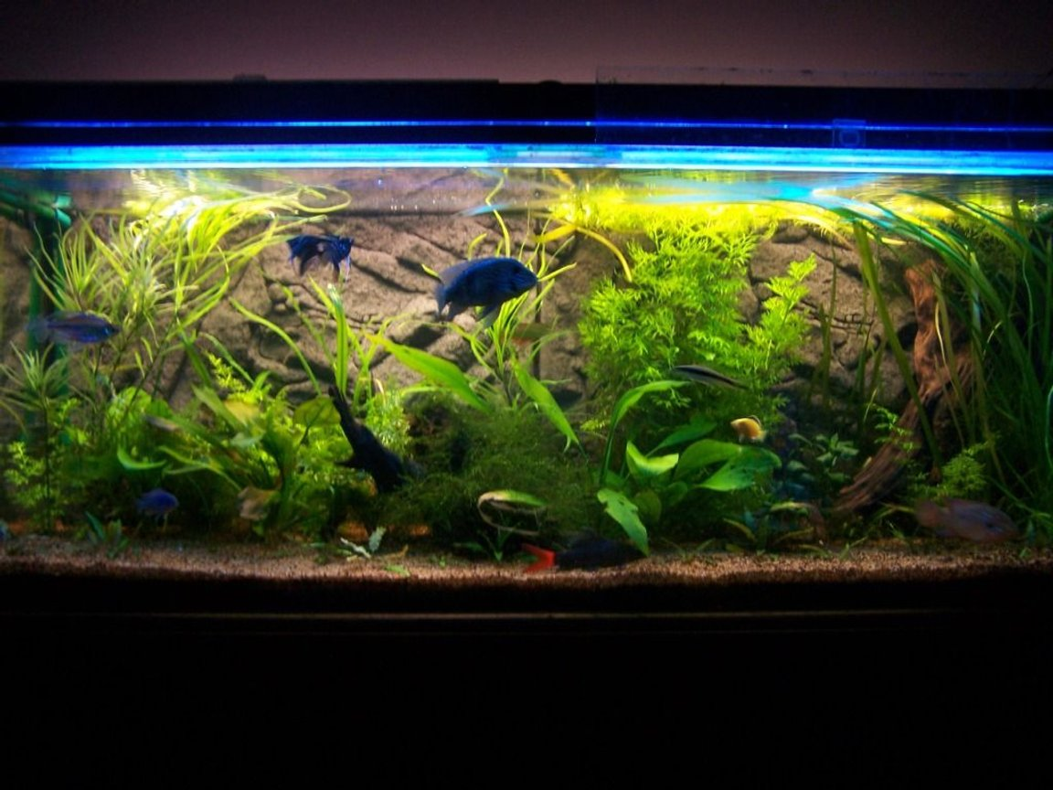 "65 gallons planted tank (mostly live plants and fish) - 4'x18""x18"" Planted cichlid/tropical community. Approx 18mths old"