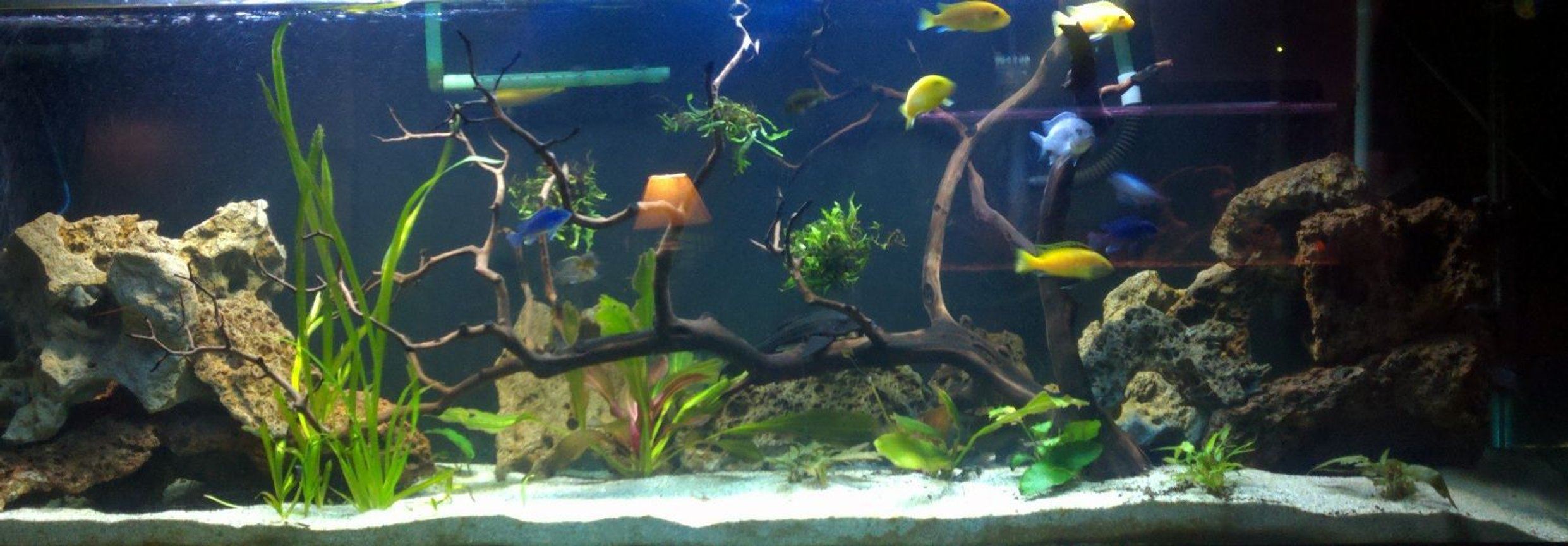 125 gallons planted tank (mostly live plants and fish) - 125g planted Mbuna tank