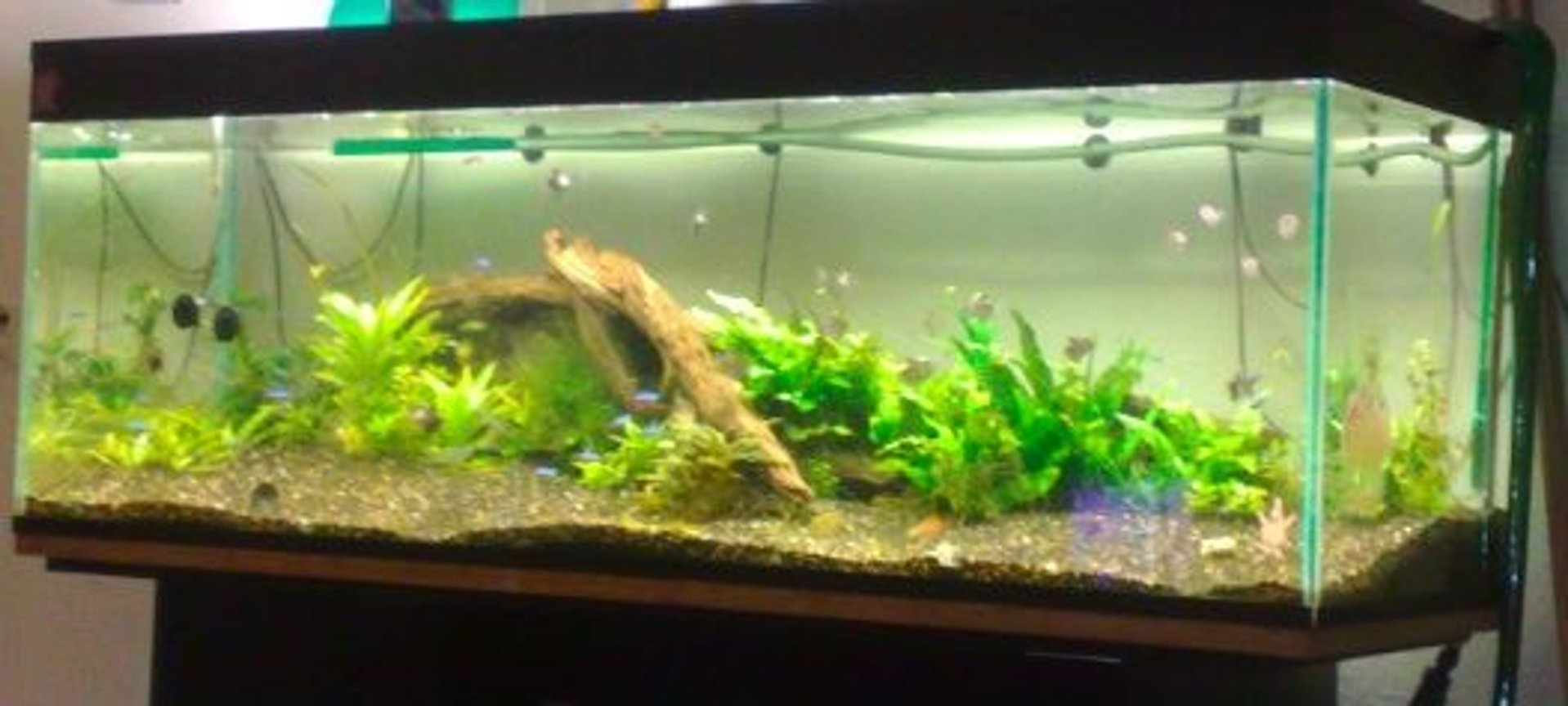105 gallons planted tank (mostly live plants and fish) - Got No Money No Work, So It Does Not Look So Nice :(