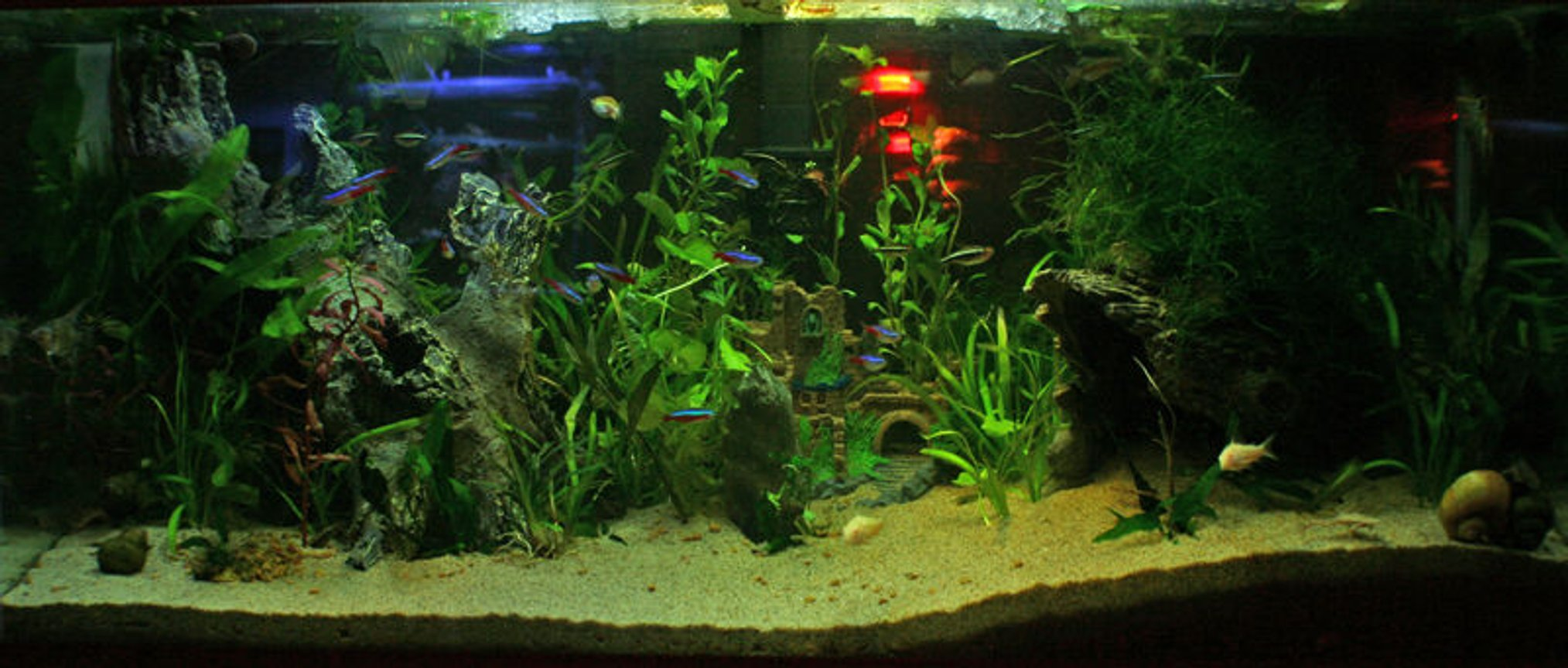 35 gallons planted tank (mostly live plants and fish) - Planted tank. 35 Gallons US Neon Tetra Black Tetra Cardinal Tetra Corydora Betta