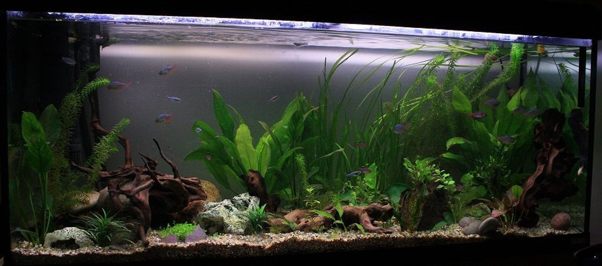 64 gallons planted tank (mostly live plants and fish) - Front side view